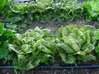 Lettuces_fall_2014_003